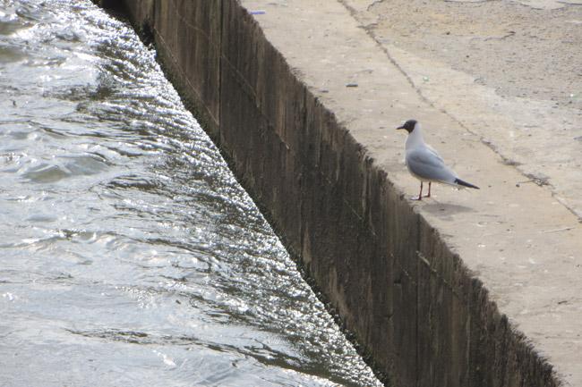 чайка-у-воды