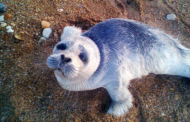 каспийский-тюлень-fishki.n