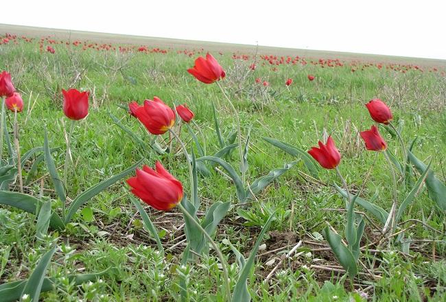 красные тюльпаны1