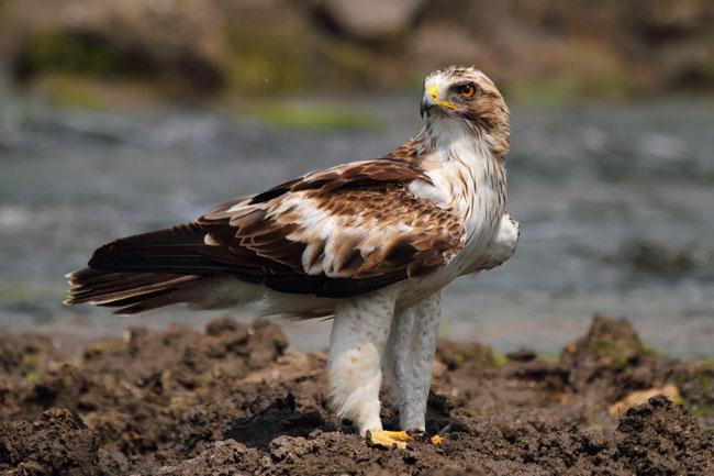 орел-карлик1