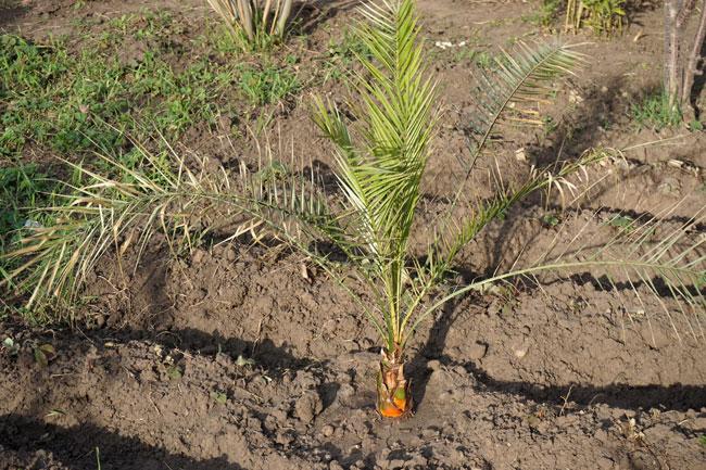 пальма-среди-клубничных-гря