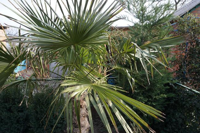 Перезимовавшая не одну зиму пальма