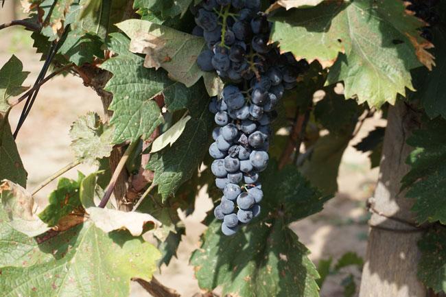 виноград2-2