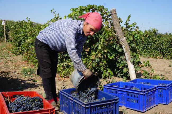 сборщица-и-виноград