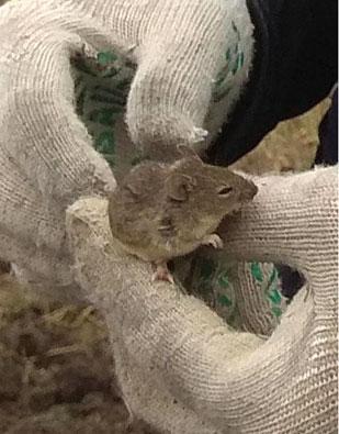мышь1
