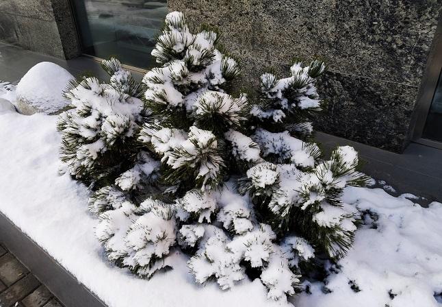 утонувшая елеочка в снегу