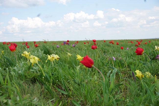 тюльпаны-и-небо