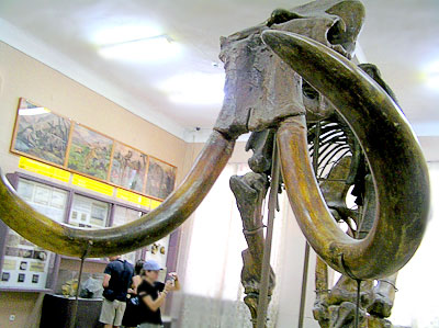 Cкелет трогонтериевого слона в Азовском историко-археологического и палеонтологическом музее-заповеднике
