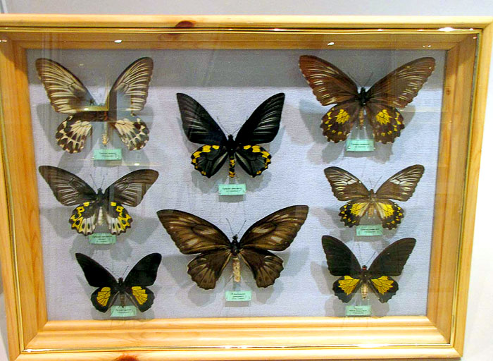 Выставка бабочек в ростовском краеведческом музее, фото Веры Волошиновой