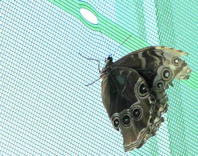 Бабочки любят сидеть на сетке окна, парк живых бабочек, Ростов-на-Дону, фото Веры Волошиновой