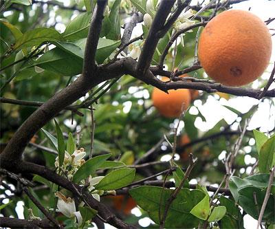 На одной ветки - цветы и плоды апельсина